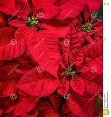 Rote Poinsettias Blume Weihnachtsstern Stockfoto Bild Von
