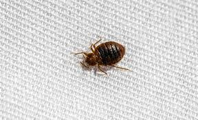 how to get rid of bed bugs the home depot