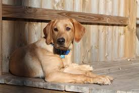 English Labrador Weight Chart By Age Weight At 6 Months American Or English The Labrador Forum
