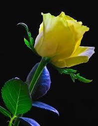 """Képtalálat a következőre: """"sárga rózsa csokor képek"""""""