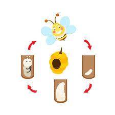 Honey Bees Life Cycle