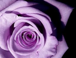 Purple Flower Quotes History And Meaning Of Lavender Roses Proflowers Blog