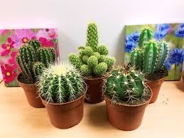 1 large cacti cactus succulent office indoor garden plant 12cm pot 1 of 2free see more