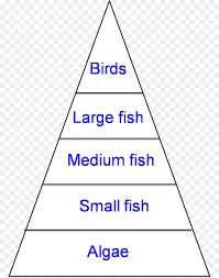food web pyramid pond ecological pyramid food web food chain ecosystem energy png