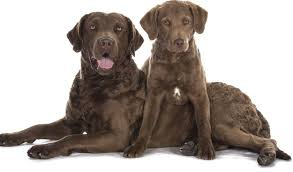 where does the chesapeake bay retriever e from chesapeake bay retriever dogs and puppies