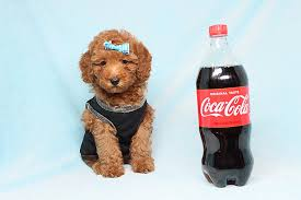 avenger toy poodle puppy
