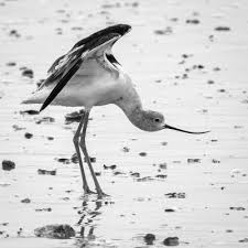 Small Picture 50 best Avocets images on Pinterest Animals Beautiful birds and