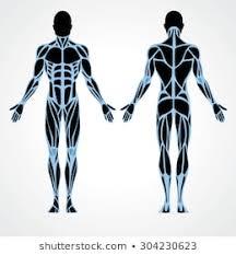 Body Muscle Chart Stock Vectors Images Vector Art