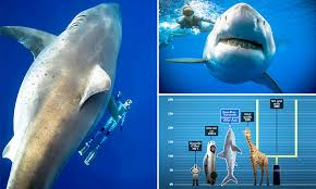 Largest Ever Great White Shark Deep Blue Spotted In Hawaii
