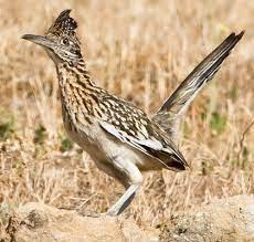 Road runner bird ...