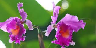 Per inciso, in lingua inglese l'albero di tromba è anche chiamato albero di tromba o, a causa della forma caratteristica del frutto, anche albero di fagioli indiani. Le Specie Di Orchidea Cattleya