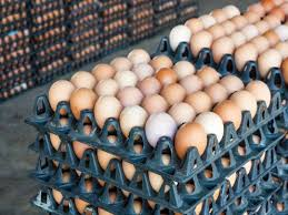 Poultry Management Factors That Cause Reduced Egg