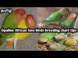 Opaline African Lovebirds Breeding Chart Tips In Tamil