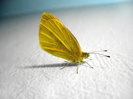 yellow erfly backgrounds