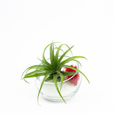 Air Plant Terrarium Baby Egg Modern Air Plant Terrarium Diy Kit Juicykitscom