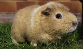 Rodents Lower Classifications Guinea Pigs Facts Breeds Information Pictures