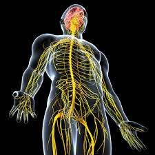 Image result for peripheral nervous system