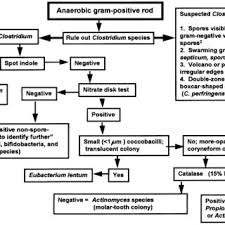 Flowchart For Identification Of Anaerobic Gram Positive