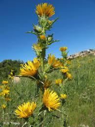 Scolymus grandiflorus Desf., 1799 - Scolyme à grandes fleurs ...