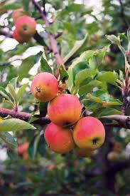 TREE Black Cherry Prunus Serotina Although It Grows Large And Fruit Tree Nursery North Carolina