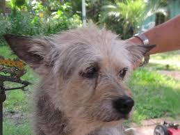 wire haired terrier mix. Plain Wire Inside Wire Haired Terrier Mix W