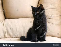 black cats with yellow eyes kitten.  Cats Portrait Of A Little Black Kitten Three Months Purebred With Big Yellow  Eyes To Black Cats With Yellow Eyes Kitten W