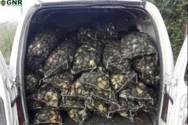 GNR apreende mais de uma tonelada de caranguejo na Murtosa