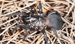 fourteen new trapdoor spider species described in wa australian geographic
