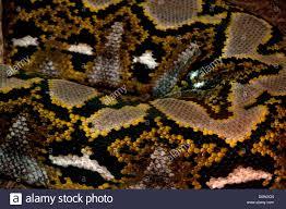 Python Pattern Interesting Reticulated Python Python Reticulatus Anima Snake Skin Pattern