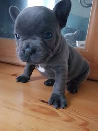 blue bulldog puppies. Contemporary Bulldog Truly Outstanding Blue French Bulldog Puppies For Sale With Blue Bulldog Puppies