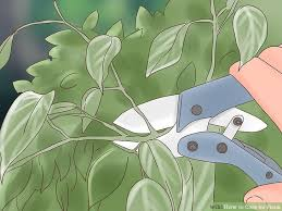 image titled care for ficus step 10