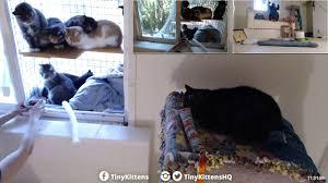 Kitten Socialization Chart Socialization With Blind Feral Cat Hyatt Day 4 Tinykittens Com