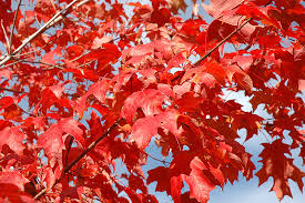 bachmans garden center. Click To View Full-size Photo Of Fall Fiesta Sugar Maple (Acer Saccharum \u0027 Bachmans Garden Center O