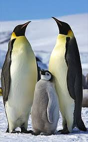 baby emperor penguins swimming. Brilliant Baby Emperor Penguin In Baby Penguins Swimming