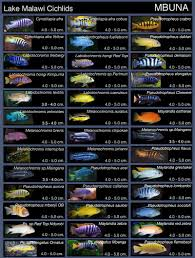 African Cichlid Aggression Chart Cichlids Enthusiast Forum Page 1742 Tropical Fish