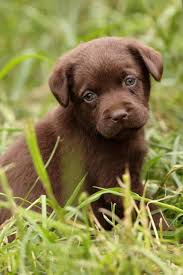 chocolate lab puppies. Perfect Puppies Chocolate Lab Puppy Names Slideshow For Puppies