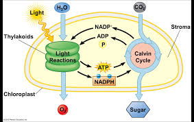 cellular respiration  photosynthesis   biology with haas at    image photosynthesis   for definition side of card