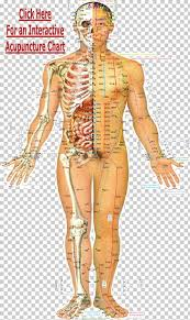 Acupuncture Meridian Chart Free Download Acupuncture Traditional Chinese Medicine Acupressure