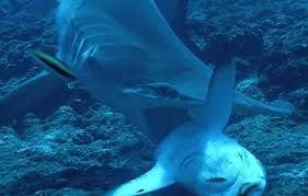 hammerhead shark eating a stingray.  Hammerhead Hammerhead Sharks Feed On A Wide Variety Of Prey Such As Fish Squids  Octopuses Crustaceans Stingrays Their Favorite Food And Even Other Sharks  To Shark Eating A Stingray N