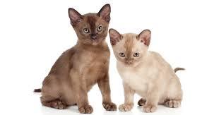 Burmese Kitten Weight Chart Burmese Breeders Australia Burmese Info Kittens