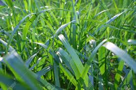 grass blade close up. Background, Close Up Shot Of Green Grass Blades. Stock Photo - 12963435 Blade C
