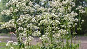 How to Grow and Care for Valerian