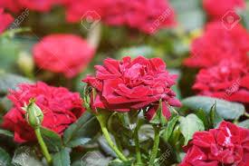 Mooie Rode Rozen De Bloemen In De Tuin Behang Royalty Vrije Foto