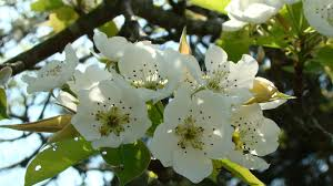 Bloomin Fruit Trees In Virginiau0027s Mountains  Shenandoah Valley Plum Tree Flowers But No Fruit