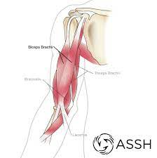 In the lower part of the forearm the muscle forms four tendons. Body Anatomy Upper Extremity Tendons The Hand Society