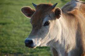brown cow face. Modren Face Brown Cow Face Intended Cow Face W