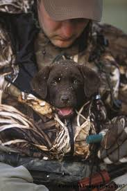 chocolate lab duck. Modren Duck I Love Duck Hunting Dogs To Cute Bet He Wont Get Out To Fetch A  Looks Much Warm Inside Chocolate Lab Duck K