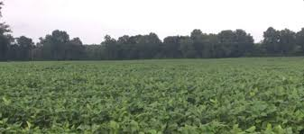 Identifying Late Season Soybean Growth Stages Mississippi