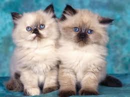 Kucing Himalaya Ciri Ciri Kucing Himalaya Cara Perawatan Kucing