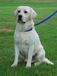 american yellow lab puppies. Delighful American English Yellow American Chocolate With Lab Puppies P